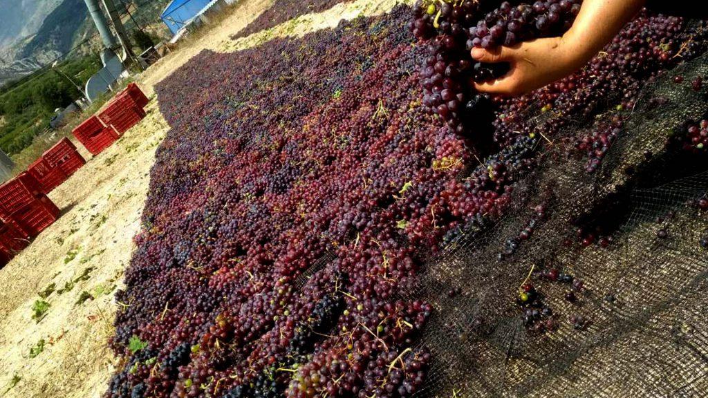 cretan red grapes
