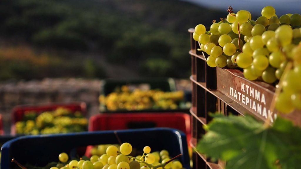 cretan grapes