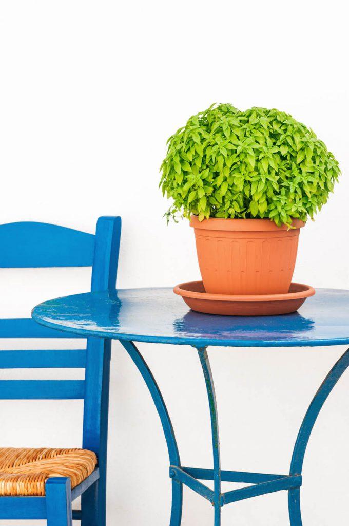 basil pot on table